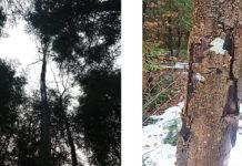 Der Pilzbefall an den Zolliker Eschen ist massiv. (Bilder: zvg)